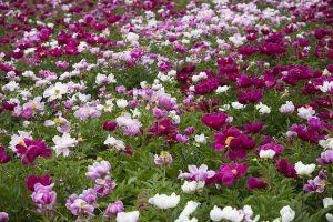 peony-flowers-1138053_640