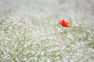 poppy-1128683_640 (1)